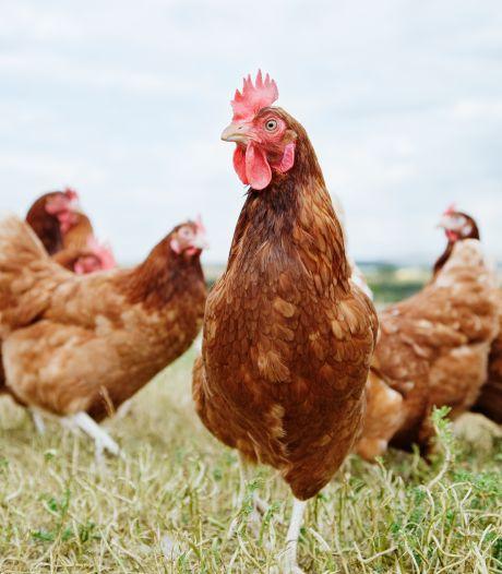 """Un foyer de grippe aviaire détecté en France: """"L'origine de la contamination est l'achat de volailles sur un marché belge"""""""