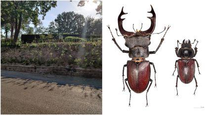 """Groenarbeiders vernielen biotoop van beschermde insectensoort: """"Larven van met uitsterven bedreigd vliegend hert afgevoerd naar containerpark"""""""