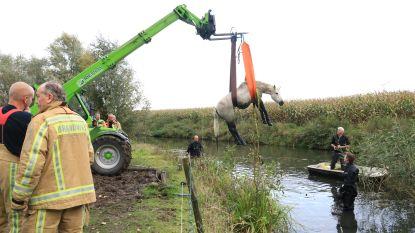 Alerte visser en brandweer redden paard van verdrinkingsdood