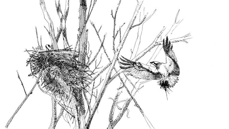 Een tekening van de visarend in het nest in De Biesbosch. Beeld Albert de Jong