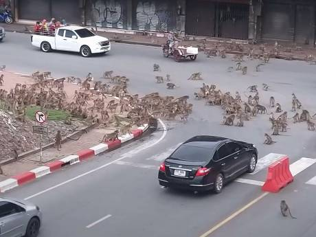 """Des """"bandes rivales"""" de singes se battent devant des conducteurs effrayés en Thaïlande"""
