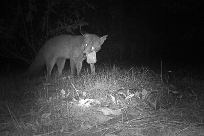 Een vos probeert er met het hele blikje vandoor te gaan.