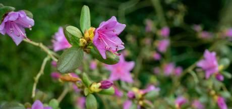 De natuur is vroeg, knoppen ontluiken al in Belmomte arboretum