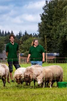 De commerciële schapenkudde is in trek: 'Ze zijn zelfs ingehuurd door StukTV'