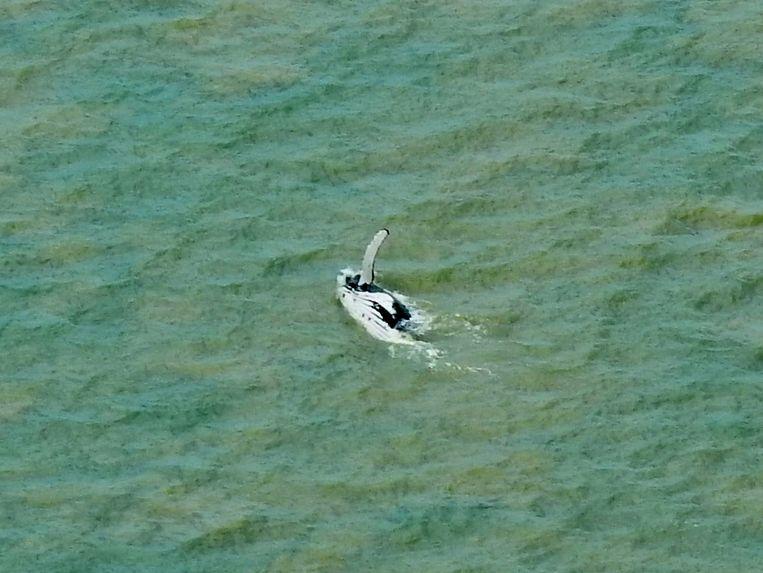 Het dier zwom op eigen houtje terug de zee in. Beeld AP