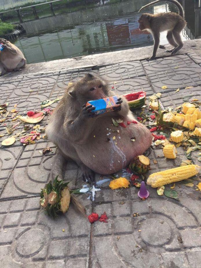 Het dier is zo dik omdat het bijna niet beweegt en allerhande ongezonde snacks krijgt van toeristen.