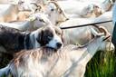 De schaapskudde in Hoog Buurlo wordt sinds enkele maanden bewaakt door drie Karpatische herdershonden.