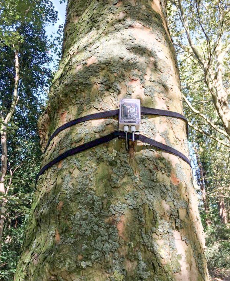 Bomen in de stadskern van Sint-Niklaas worden uitgerust met sensoren.