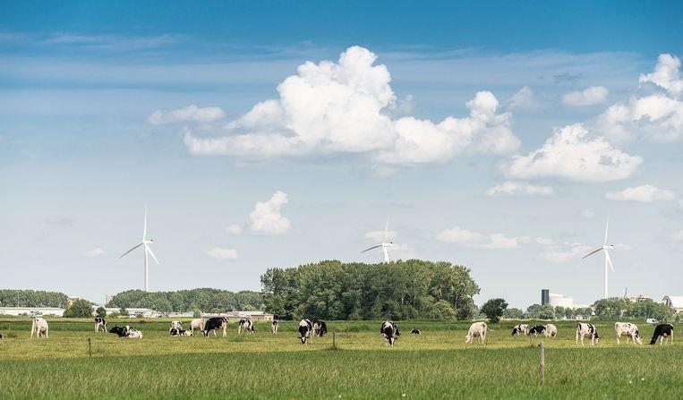 Koeien in de wei bij Delfzijl. Beeld Harry Cock / de Volkskrant