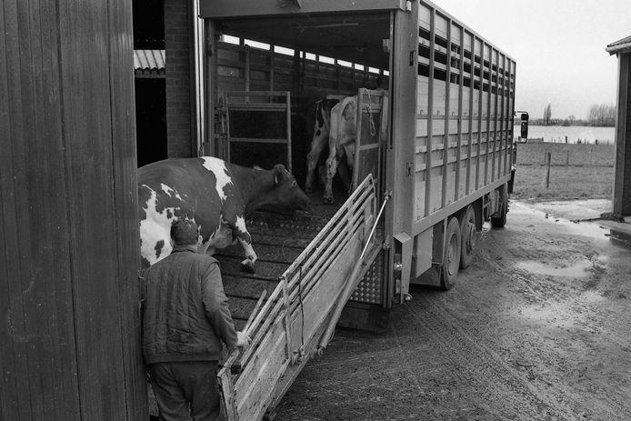 Een boer in St. Agatha, Land van Cuijk, die zijn stallen bedreigt ziet door het wassende water voert zijn kudde naar veiliger grond.