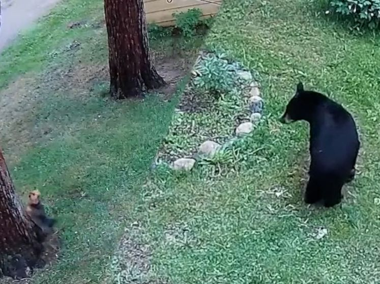 Yorkshireterriër jaagt beer de boom in