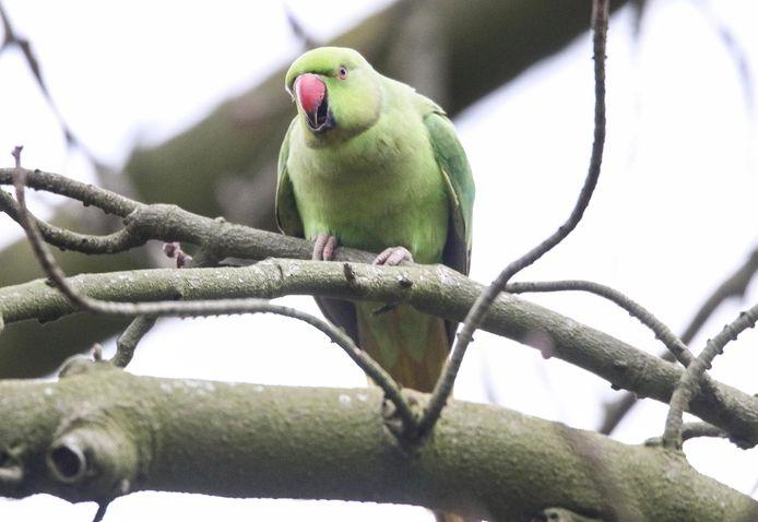 Het Park van Heule vormt de thuisbasis van enkele tientallen halsbandparkieten, groene parkieten met een gekromde rode bek, en dat is géén goede zaak.