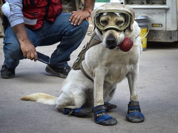 De labrador retriever was al van jongs af aan in dienst bij de Mexicaanse marine.