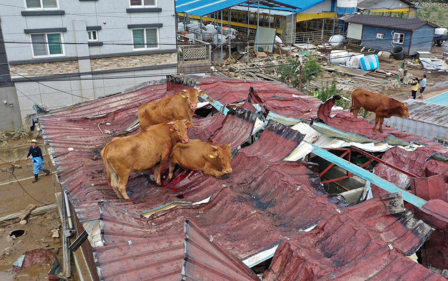 De koeien staan op het dak nadat het water is weggetrokken.