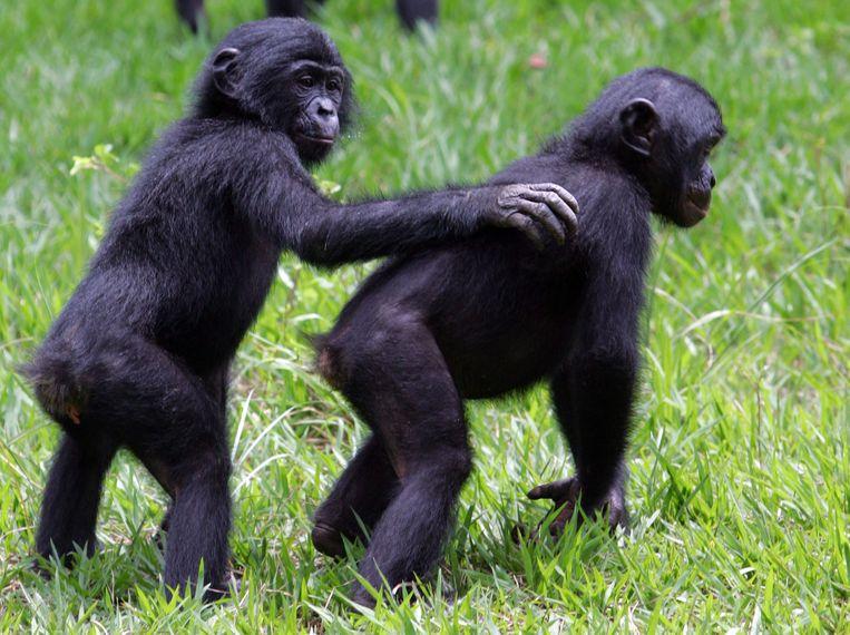De bonobo-apen in het wild, hier in Congo. Beeld AFP