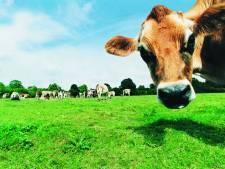 """Une vache laitière meurt à cause de canettes à Charleroi: """"Un incident connu"""""""