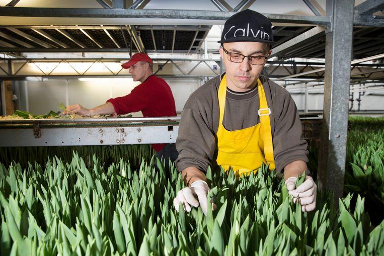 Radek Berini pukt tulpen in de kas bij M.T. Burger Bloembollen in het Friese Andijk. Beeld Ton Toemen