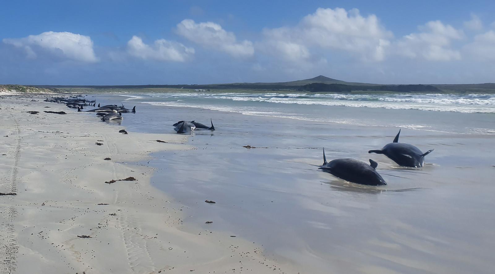 Zo'n 100 gestrande dolfijnen op het strand in Nieuw-Zeeland.