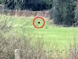 Wandelaar filmt vreemd roofdier in een weiland in Wales