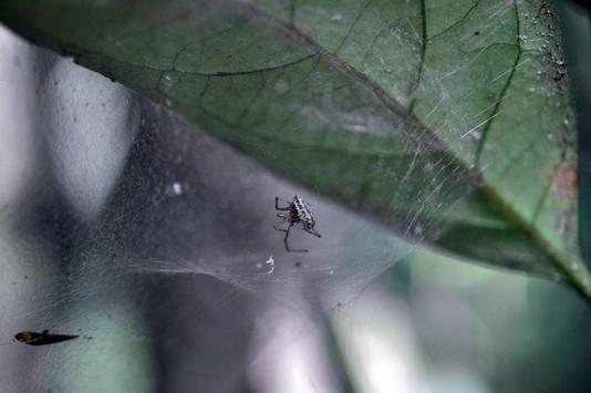 Une larve de guêpe dévore son hôte