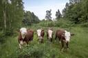 Grote grazers op Kwintelooijen.