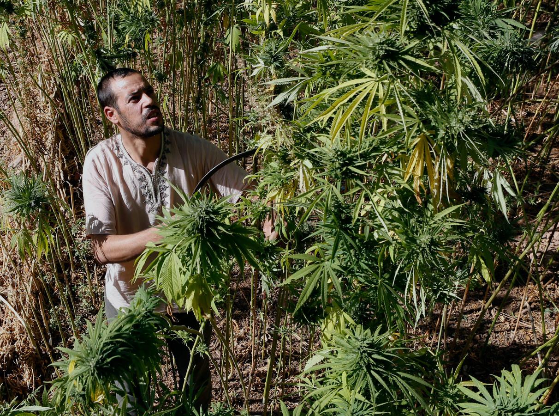 """Le cannabis n'engendre pas d'overdose. Pour risquer un décès, il faudrait consommer """"entre 15 et 70 grammes de THC. Même un très gros fumeur ne pourrait pas consommer une telle quantité en un jour."""""""