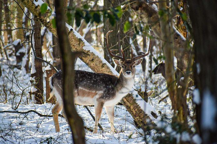 De 'bambi' die Rick 's morgens zag in de duinen van Nieuw-Haamstede.
