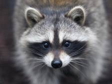 Al ruim 16.000 handtekeningen tegen de jacht op wasberen in Limburg