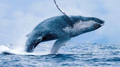 """Nieuwe satelliet telt walvissen vanuit de ruimte: """"Dit helpt om ze te beschermen"""""""