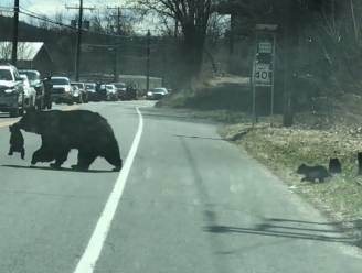 Net als bij de mensen: mamabeer voert hilarische strijd om koppige welpjes veilig de straat over te krijgen