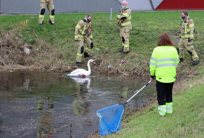 Brandweerlieden halen een gewonde zwaan uit een vijver aan de Bonnetstraat in Ede.