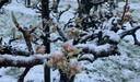 Sneeuw op bloesem: dat hebben ze in fruitkwekerij De Braacken in Goirle niet eerder meegemaakt.