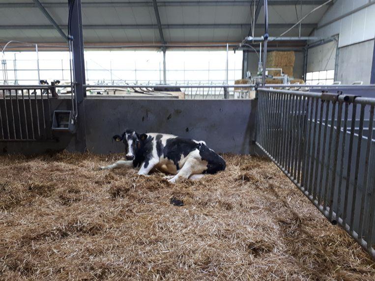Harmke 309, de oudste koe van Nederland. Beeld Emiel Hakkenes