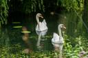 De ernstig zieke zwanen die eerder vijf jongen verloren, zwemmen weer gezond en wel in de Wilhelminasingel in Vught.