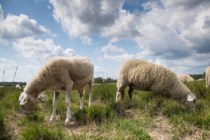 Schapen op de Veluwe, die herders steeds meer in bescherming proberen te nemen voor de wolf. Bij de aanbevelingen in het preventieplan van de Gelderse wolvencommissie plaatsen schapenherders uit de regio hun vraagtekens.