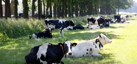 Tropische temperaturen drijven Betuwse koeien naar verkoelende schaduw