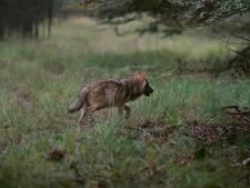 Of wolf veulentje in Raalte doodde, blijft ongewis: dna-spoor niet voldoende om roofdier vast te stellen
