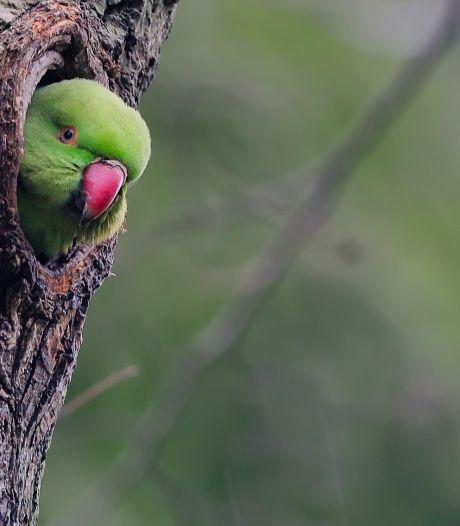 Luid gekrijs, knalgroene veren en een rode snavel: steeds meer halsbandparkieten gespot in regio