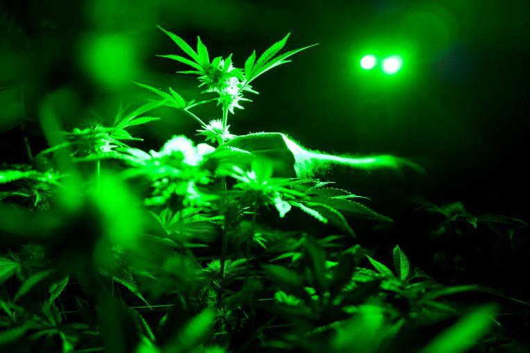 Pijnartsen vinden dat er een te positief beeld bestaat over medicinale cannabis.  Beeld AP