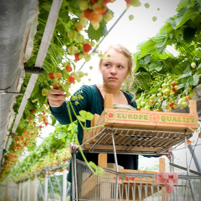 Steeds meer kassen komen vol te staan aardbeien en ander zacht fruit in teeltgoten op plukhoogte.