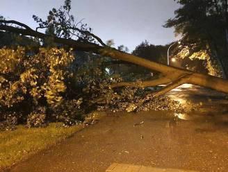 Boom belandt over de rijbaan in Schoten, ook in Brasschaat zorgt omgewaaide boom voor hinder