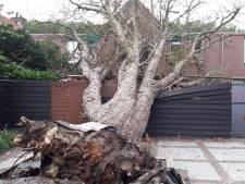 Oude kastanje valt om in Woerden: grote ravage en boze omwonenden