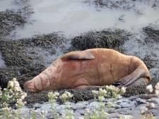 Walrus opnieuw gespot in haven van Harlingen