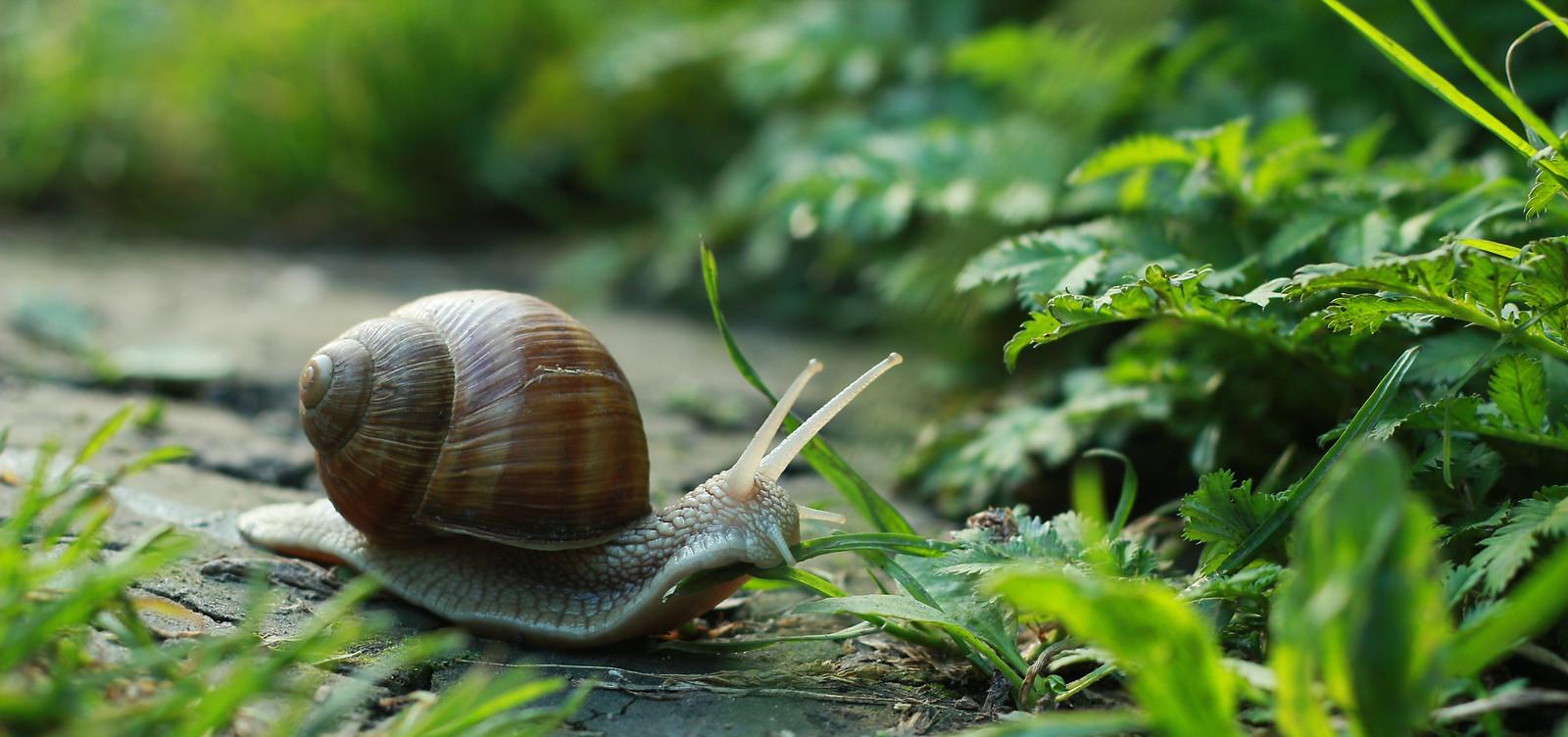 Slakken in de tuin. Shutterstock