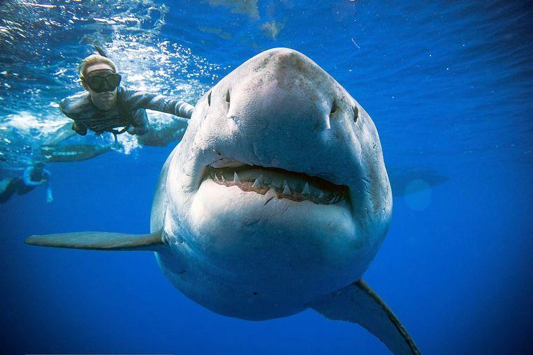 Duiker Ocean Ramsey zwemt naast een vrouwelijke witte haai voor de kust van Hawaï. Beeld AFP