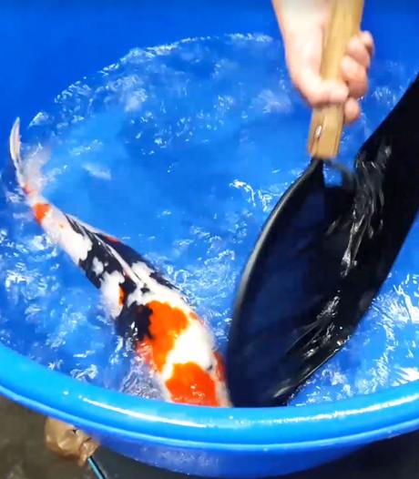 VIDEO: Koortsachtige drukte bij koihandel Kerkdriel; de vissen komen binnen!