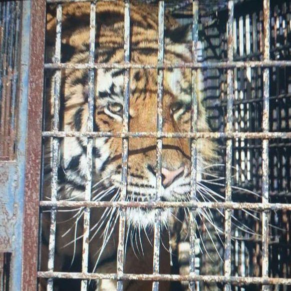 De tijgers werden onder verschrikkelijke omstandigheden van Italië naar Rusland vervoerd.