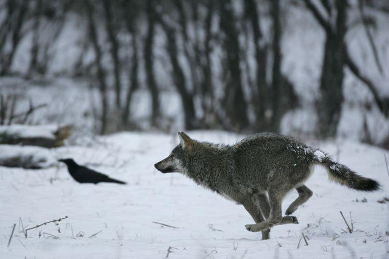Een wolf afgelopen winter in Bieszczady in de Poolse Karpaten. Polen telt ongeveer tweeduizend wolven, bijna drie keer zoveel als twintig jaar geleden.  Beeld HH