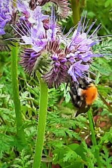 'Voedselbanken' voor wilde bijen en hommels in de regio