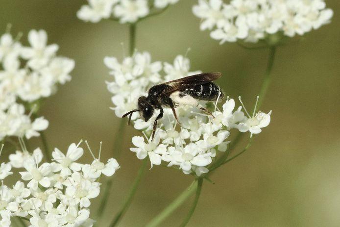 Een schermbloemzandbij, één van de zeldzame bijen die tijdens de inventarisperiode werd opgemerkt in Liedekerke.